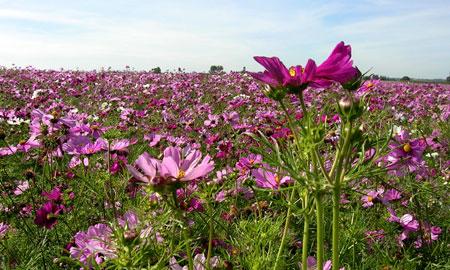 purplesea